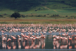 TANZA-NgorongoroFlamingos