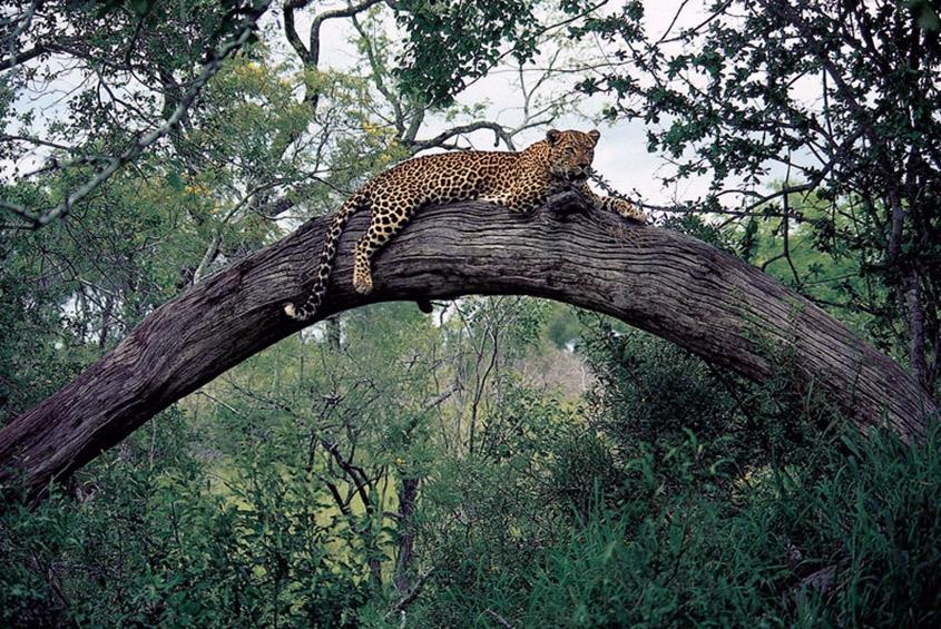 LeopardTreeLondolozi