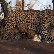 LeopardWithCubsLondolozi